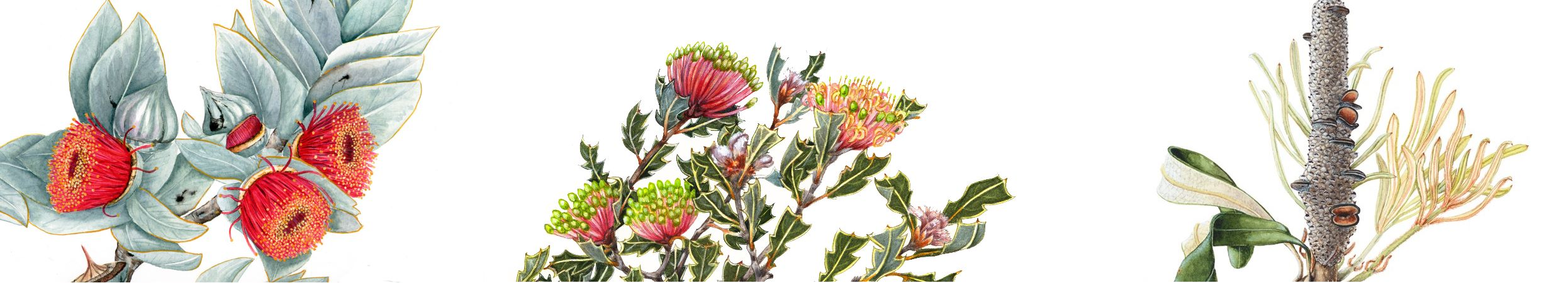 Artwork from left to right: George Kraus - Eucalyptus macrocarpa, Mim Wells - Banksia cuneata,  David Reynolds - Banksia integrifolia